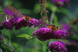 butterfly_bush_2_preview