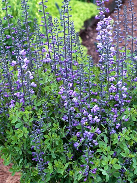Purple Smoke from Bluestone Perennials