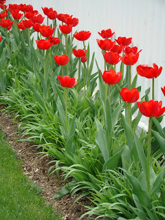 PARADE TULIPS garden and photo by jan johnsen