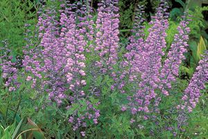 purple smoke baptisia