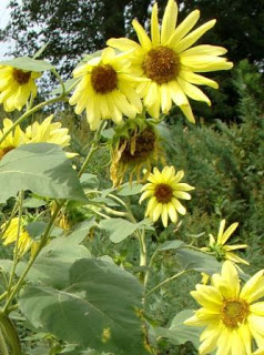 web-jan-johnsen-sunflowers-2010