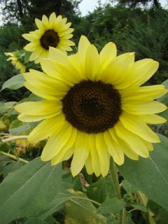 web-sunflower-jan-johnsen