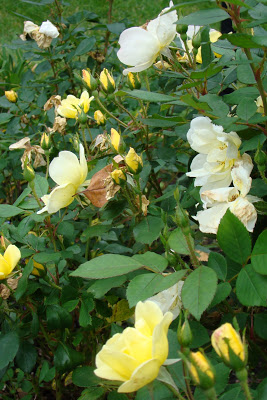 'Sunny' Knock Out Roses are three shades of light yellow / white...luscious.