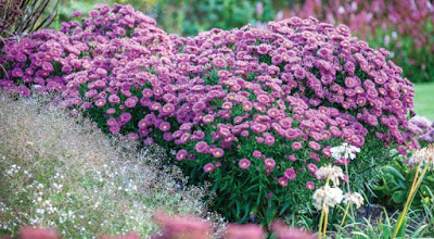 Dwarf NY Asters featured in the Fall issue of Garden Design magazine