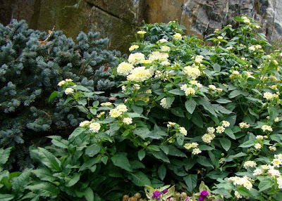 White Lantana in October next to Blue Spruce globosum